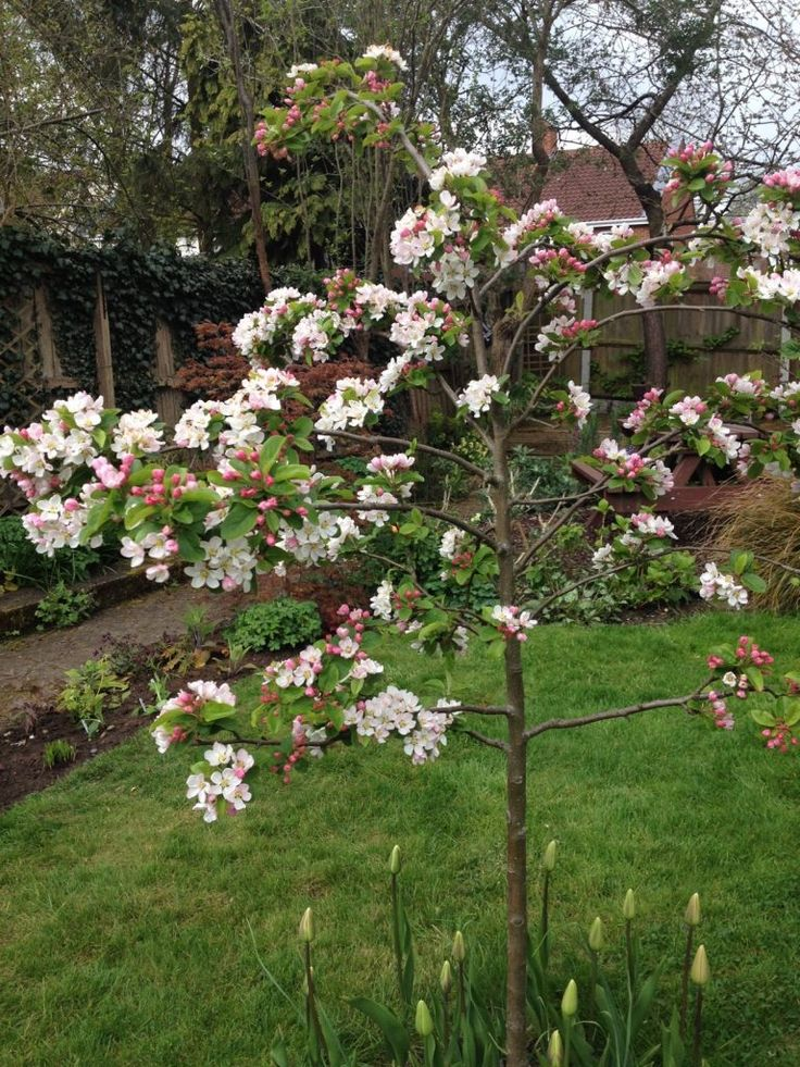 Blog post: 'Small Garden Trees For All Seasons' at The Small Gardener blog. Malus 'Red Sentinal' crab apple, in spring.
