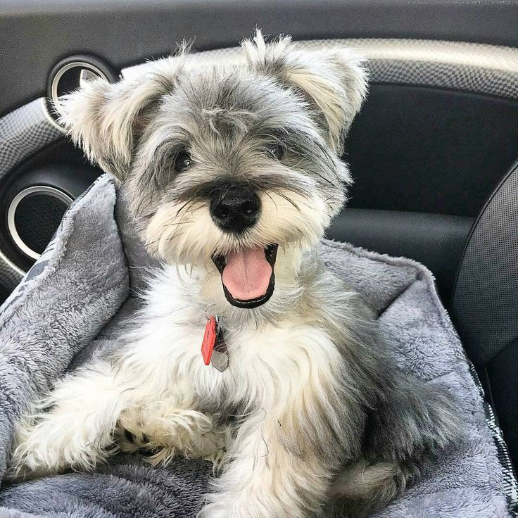"5,599 Likes, 69 Comments - Schnauzer World!®️️ (@schnauzerworld) on Instagram: ""Best Schnauzer & Hoodies EVER in @schnauzerworld profile❗️ Satisfaction guarantied❗️ Worldwide…"""