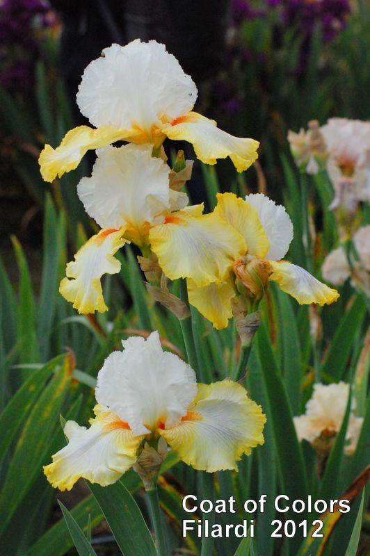 TB Iris germanica 'Coat of Colors' (Filardi, 2012)