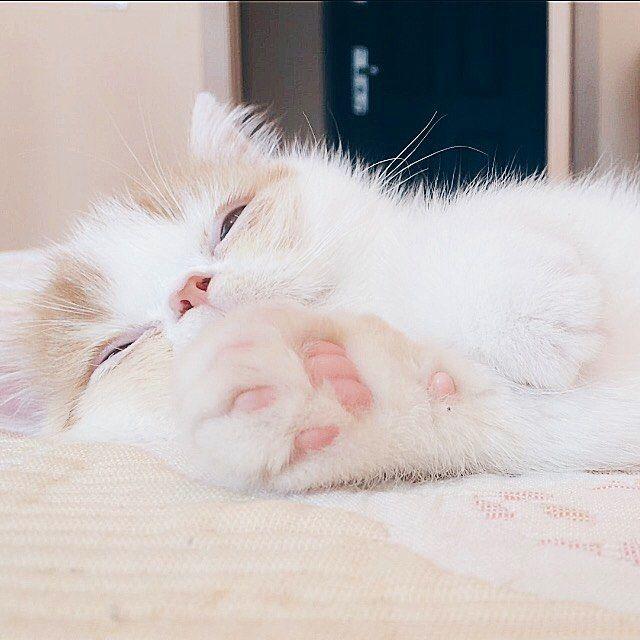 Exotic shorthair cat | Kitten | #chester_exoticcat | Мое ленивое утро в пасмурный денек ☁️☁️ Кот экзот, экзотическая короткошёрстная, экзоты, экзот