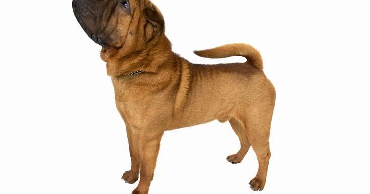 """Problemas comunes de la piel de los Shar-Pei. El Shar-Pei es una raza de perro de origen Chino que se caracteriza por sus arrugas profundas y su cabeza en forma de hipopótamo. Las palabras """"shar pei"""" quieren decir """"capa arenosa"""" en Chino. Por estar originariamente acostumbrados a trabajar en las granjas, los shar pei se conocen por su obediencia, agilidad e inteligencia. Las arrugas le cubren ..."""