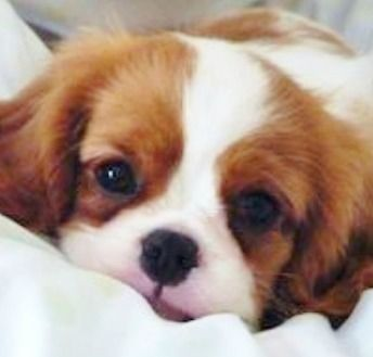 It's all about those eyes. Cavalier King Charles Spaniel