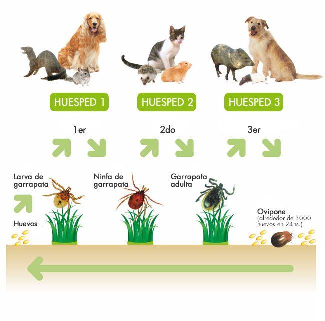 Aquí tenéis el ciclo vital de las garrapatas, como veis, en cada metamorfosis desde larva a adulto, bajan del hospedador después de alimentarse.
