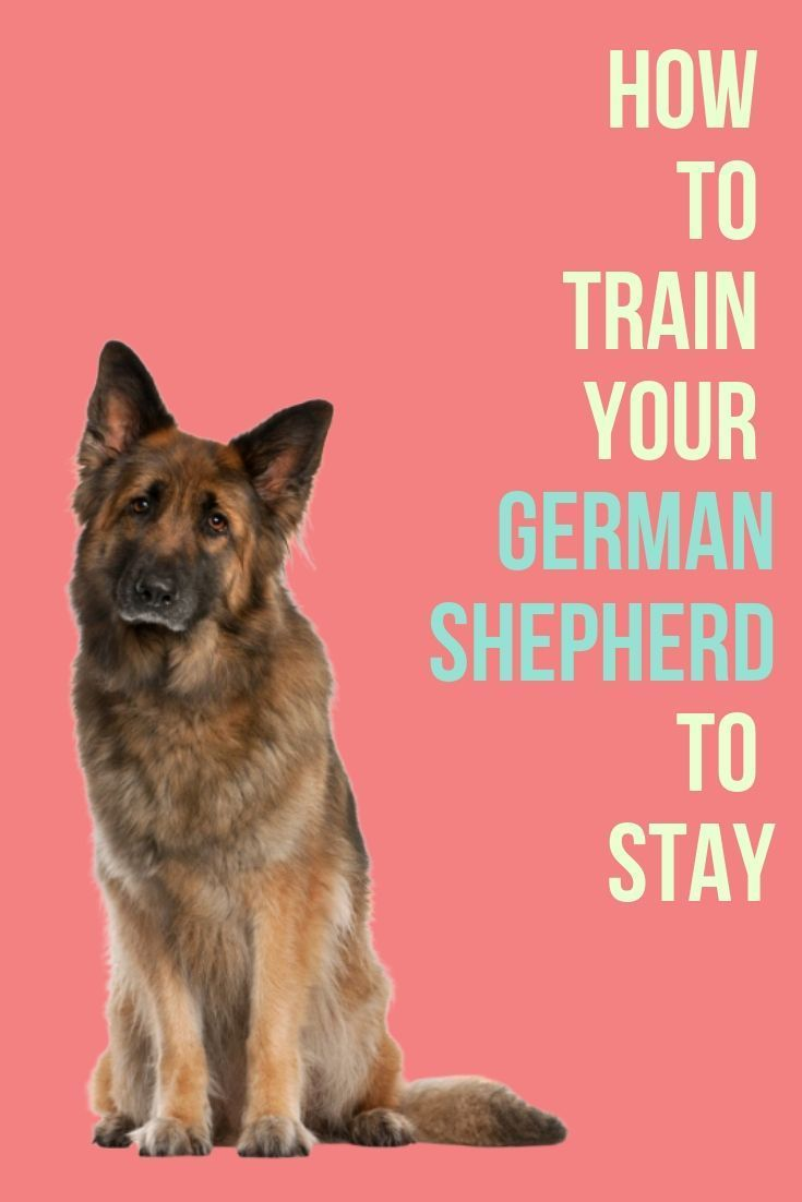 This Post Will Show You How To Train Your German Shepherd To Stay