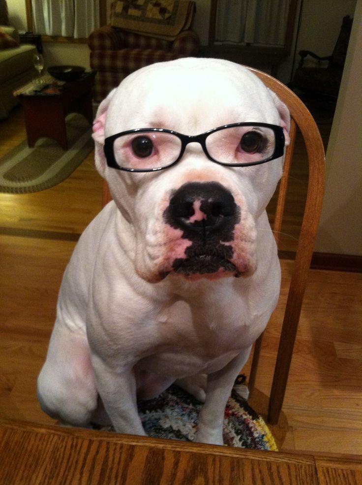 Smart American Bulldog!