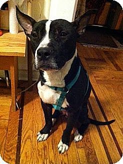New York, NY - Pit Bull Terrier Mix. Meet Lil' Times, a dog for adoption. https://www.adoptapet.com/pet/11099020-new-york-new-york-pit-bull-terrier-mix