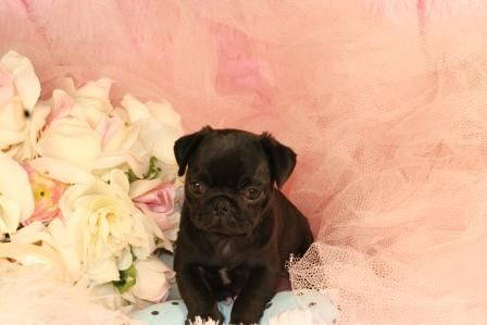 "Miniature tea cup Pug Puppies | ... Puppies From Us. Visit our "" Celebrity Page - CLICK HERE "" Puppies are"