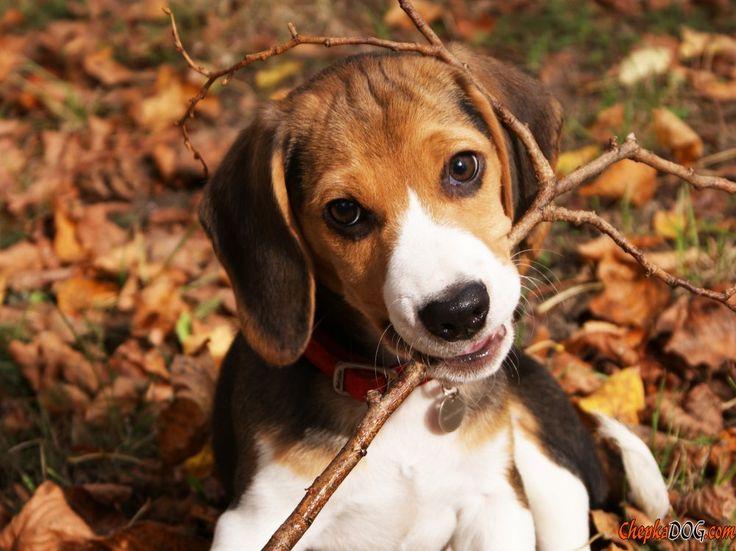 Photo shorthair beagle dans la nature