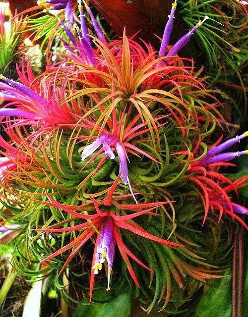"The ""Dr. Suess Plant,"" tillandsia ionantha - decor inspiration"
