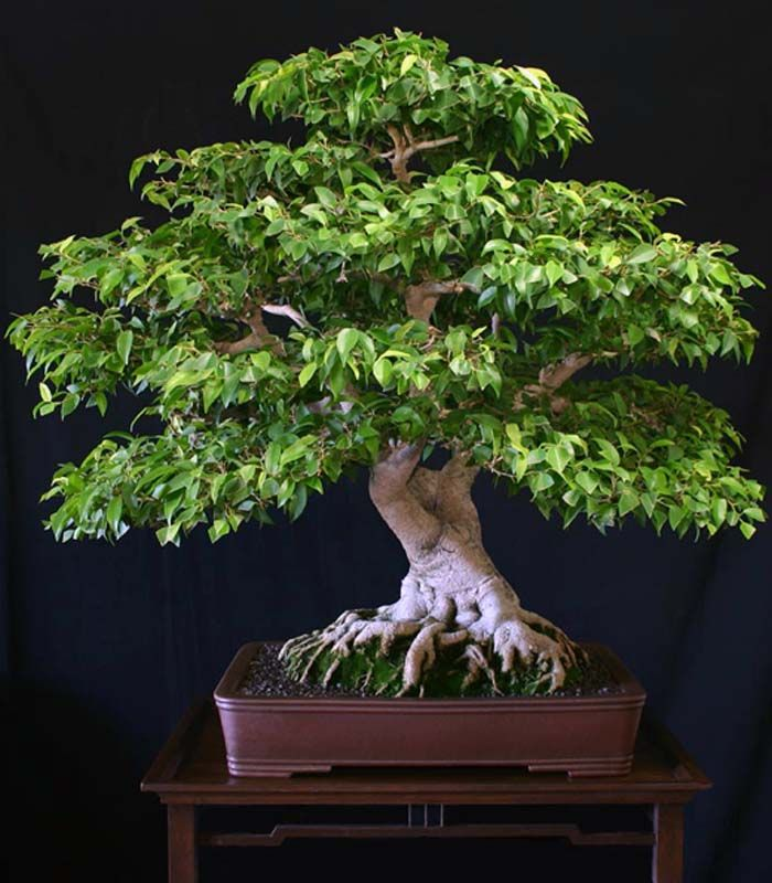 22 Best Trees For Bonsai You Should Know About