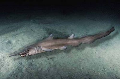 Goblin Shark Taken At Night