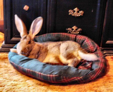 house rabbits - This one looks like my HunnyBunny a Flemish Giant Rabbit <3