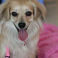 Studio City, California - Pomeranian. Meet Lovable LOTTIE, a for adoption. https://www.adoptapet.com/pet/19185467-studio-city-california-pomeranian-mix