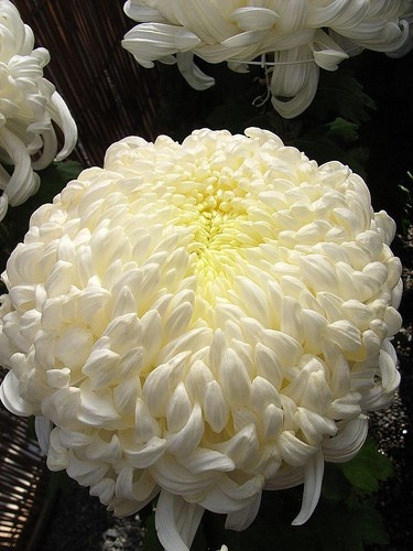 chrysanthemum, otherwise known as the football mum