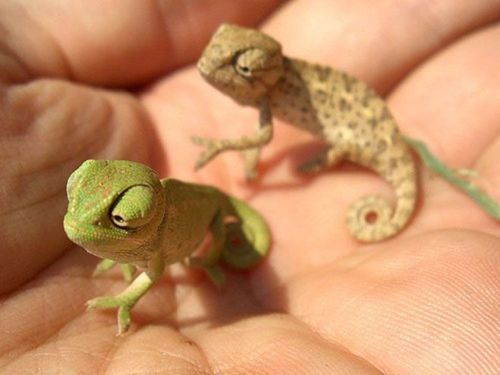 : Baby Chameleons, Reptiles, Cute Baby, Critter, Stuff, Pet, Baby Animal, Adorable, Lizards