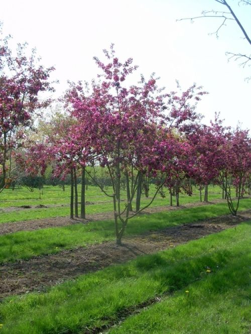 Malus x robusta 'Rudolph' #tree #multitrunk #multistem www.vdberk.co.uk