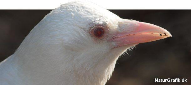 Albinoer, som denne krage, mangler helt de mørke farvepigmenter. Ikke kun i fjerdragten, men også på hud, ben og næb. Øjnene er røde. Foto: Niels Lisborg
