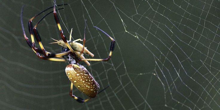 Les victimes de l'araignée-banane décèdent généralement dans l'heure qui suit la morsure.