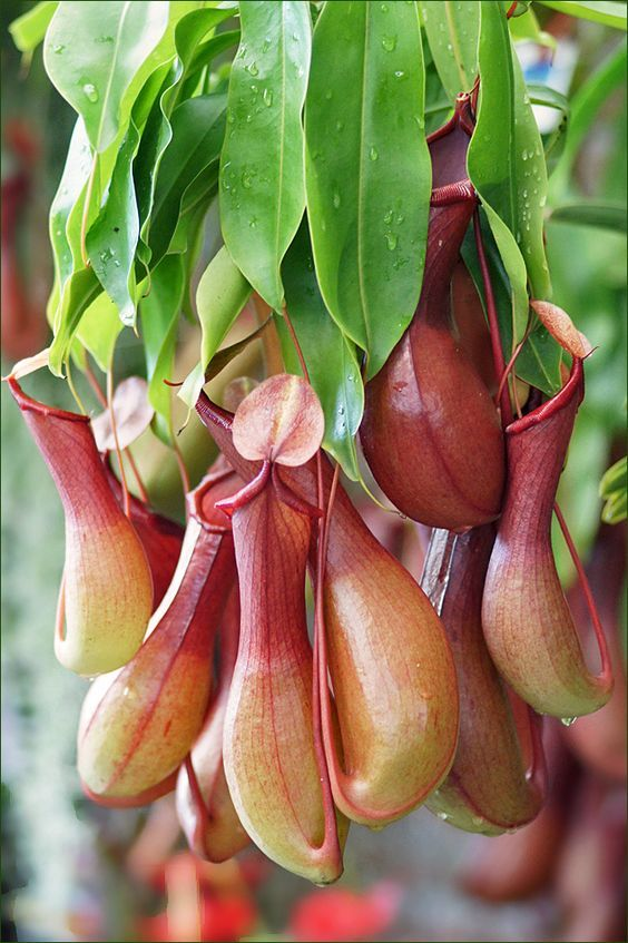 Nepenthes, popularly known as Tropical Pitcher Plants or Monkey cups
