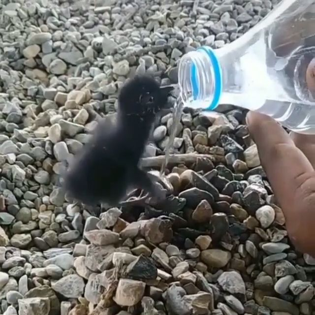 Thirsty bird's baby