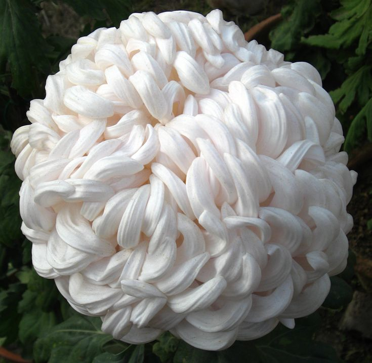snowball :: Chrysanthemum-Snowball.png picture by Chanel_no_1 - Photobucket