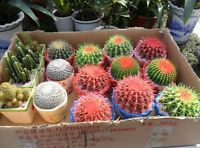 30 Pack Celestial being UK seeds - cactus - potted plant seed family anti-radiat