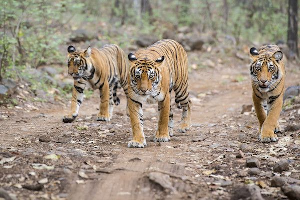 The Tiger Population Is On The Rise - All The Good Things From 2016 We Should Hold On To - Photos