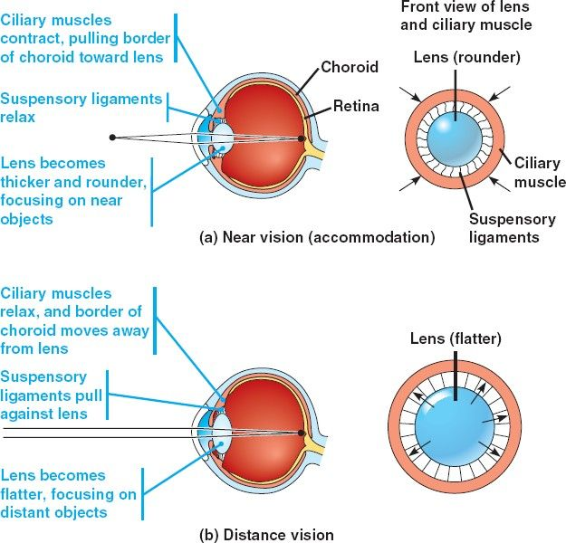 ciliary muscle - Google Search                                                                                                                                                      More