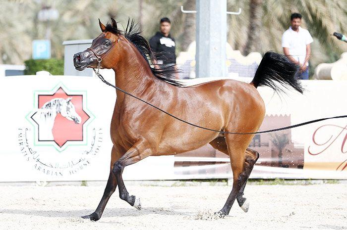 بطولة الإمارات الوطنية 2020 لجمال الخيل العربية تنطلق غدا بنادي ابوظبي للفروسية Horses Arabian Horse Arabians