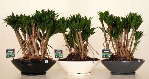 Dropbox - Green Power-Dracaena fragrans compacta.jpg