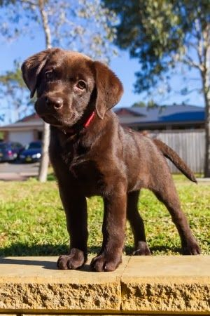 #ChocolateLab....... i have a dog exactly like this she loves to play