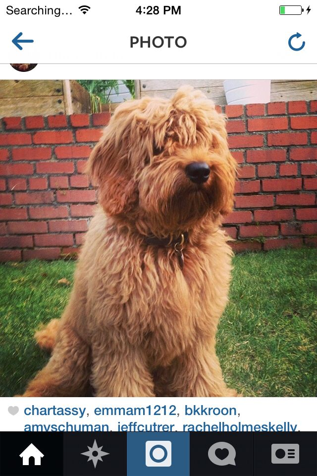 F1B golden doodles for sale in West Texas Baby dogs