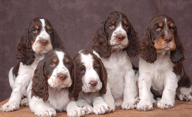 springer pups<3 the last 1:) who could resist this bunch of mushy faces.