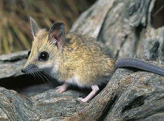 Dunnart-de-cauda-grossa (Sminthopsis crassicaudata) é uma espécie de marsupial da família Dasyuridae endêmica da Austrália. Alimenta-se de insetos como besouros, larvas de aranha, pequenos répteis e anfíbios.
