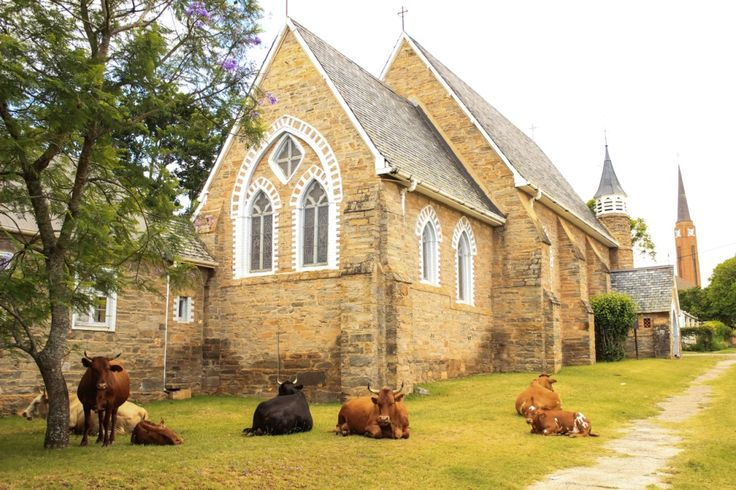 Beautiful cows rest in front of St Bartholomew Church, Market Street.