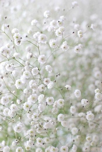1446 best flowers for garden images on pinterest flowers for c s babys breath white flowers mightylinksfo