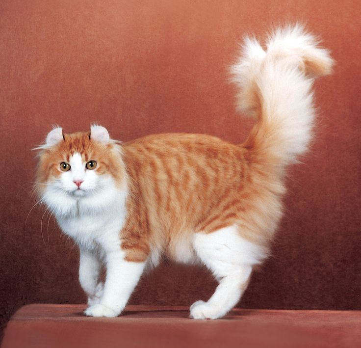 The American Curl is a breed of cat characterized by its unusual ears, which curl back from the face toward the center of the back of the skull.