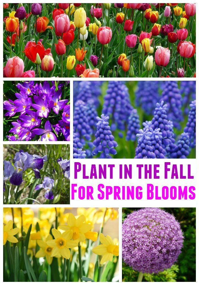 Fall is a busy time in the garden. You need to clean up any flowers that have died and plant the best fall bulbs for spring blooms.