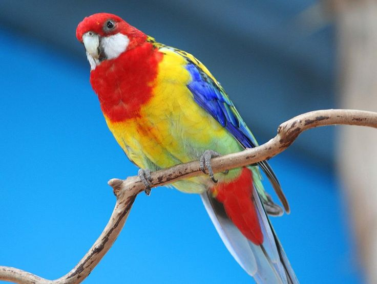 There are many colour variations in Rosella's