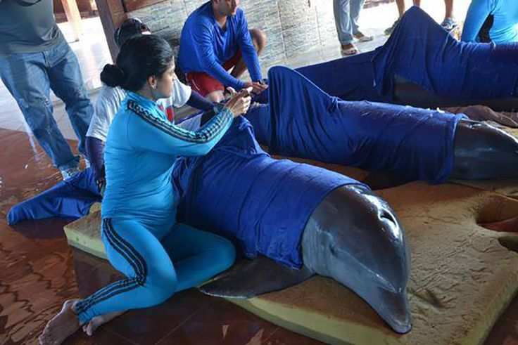 Dolphins Evacuated by Helicopter in Cuba Ahead of Hurricane Irma  Caretakers moisten the dolphins' skin as they prepare them for their move to a safe area in Cienfuegos Cuba.  Credit: Osvaldo Gutérrez Gómez/ACN/Facebook  On Sept. 7 in the hours before Hurricane Irma struck Cuba workers raced against the clock to secure six dolphins housed at an island aquarium on the northern coast preparing them for an airlift that would transport them to a safer location farther south.  Images shared on…