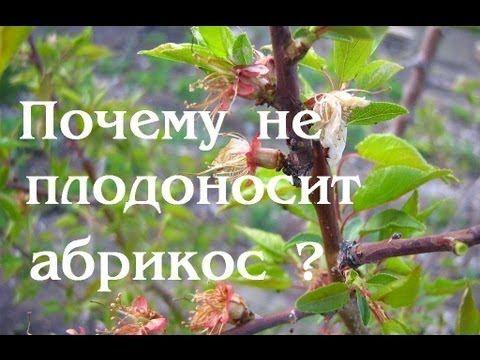 Почему не плодоносит абрикос. (ч.2)