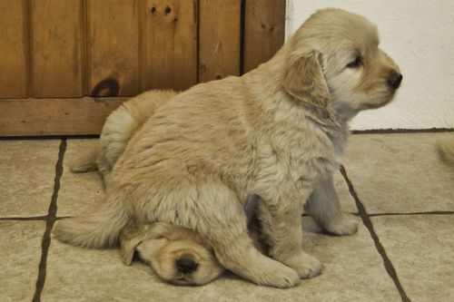 adorable!: Golden Puppies, Friends, Little Puppies, Sibling Rivalry, Silly Dogs, Seats, Labs Puppies, Animal, Golden Retriever Puppies