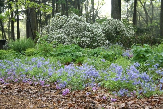 The exotic (non-native) Japanese Pachysandra(Pachysandra terminalis), Lesser Periwinkle(Vinca minor),English Ivy(Hedera helix) and Wintercreeper(Euonymus fortunei) have long been staples of Ne…