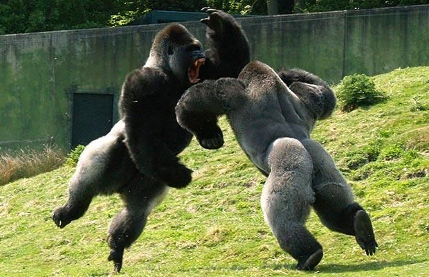 The alpha position is not freely given; it is won on the field of battle.: Silverback Gorilla, Creature, Wild Animals, Pictures, Gorilla Fight, Funny Animal, Fighting Gorilla, Monkey