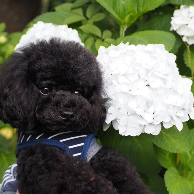 僕の顔と同じ大きさの紫陽花❁︎ 眩しいくらいの純白 白って色づくのが早いんだね❤︎ •*¨*•.¸¸♬︎•*¨*•.¸¸♬︎ * * #純白の紫陽花 #紫陽花#あじさい #ハイドランジア  #トイプー #トイプードルブラック #トイプードル部 #トイプードル黒  #愛犬#犬#可愛い#かわいい  #toypoodles #toypoodlegram #toypoodlelife #toypoodleblack #dog #dogstagram #love #lovedogs #pretty #prettydog