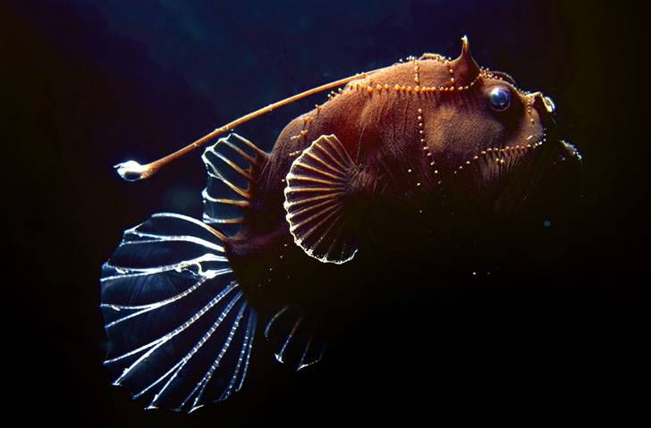 dddSea Life, Deepsea Anglerfish, Nature, Angler Fish, Marines Life, Deep Sea Creatures, Deep Sea Anglerfish, Coral Sea, Animal