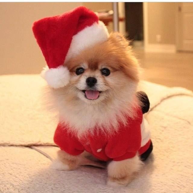"""I'm Santa's elf...who's he?"" #dogs #pets #Pomeranians facebook.com/sodoggonefunny"