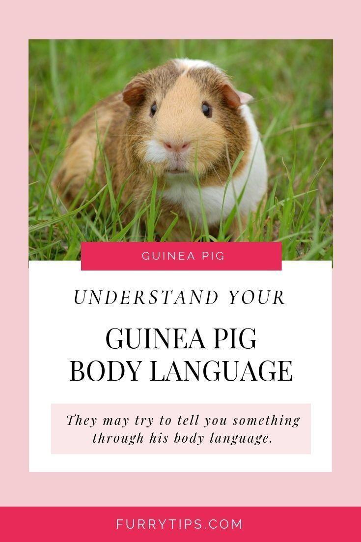 Pin Op Guinea Pig