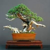 All About Bonsai Trees And Growing Them