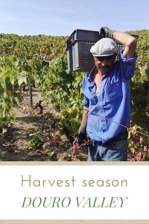 #Harvest #season in the #Douro #Valley.